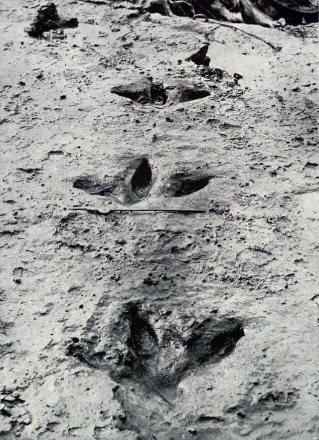 Moa_footprints