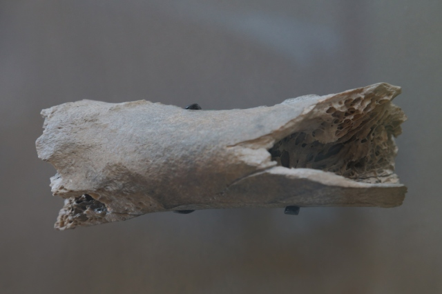 Natural_History_Museum,_London,_moa_bone_fragment
