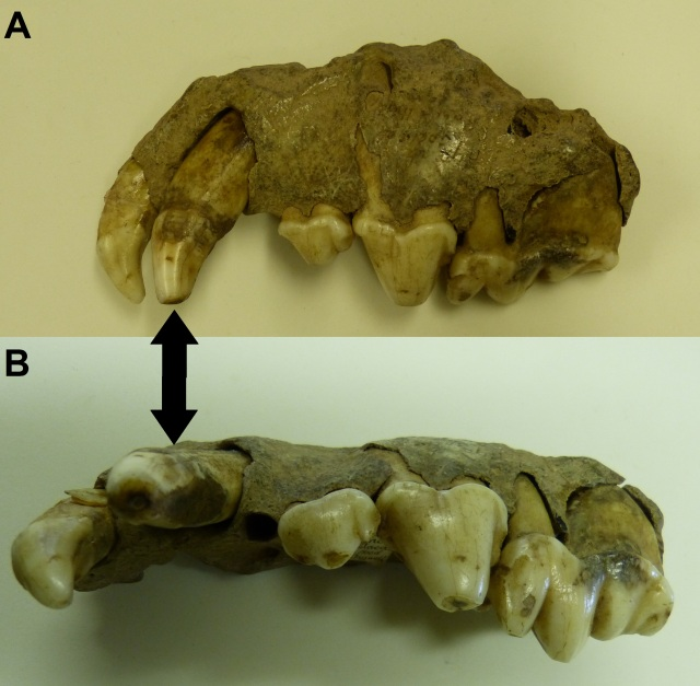 Spotted hyaena (Crocuta sp.) upper jaw with a lower jaw tooth 'shoved in' from (A) side view (B) bottom view. Arrows denote the lower jaw tooth pointing in the wrong direction. Adapted Photos Courtesy of Jane Ford.