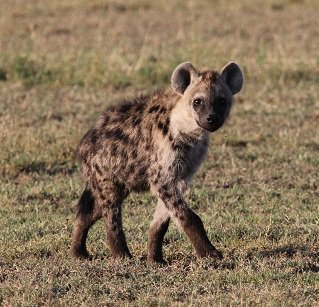 A young spotted hyena.