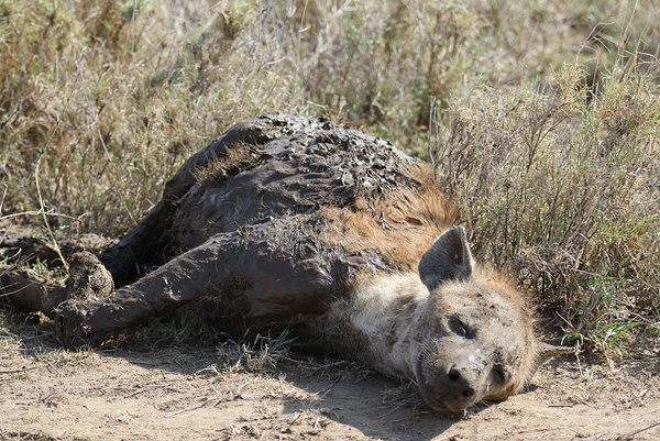 A gorgeous spotted hyena just lying lazily in the sun.