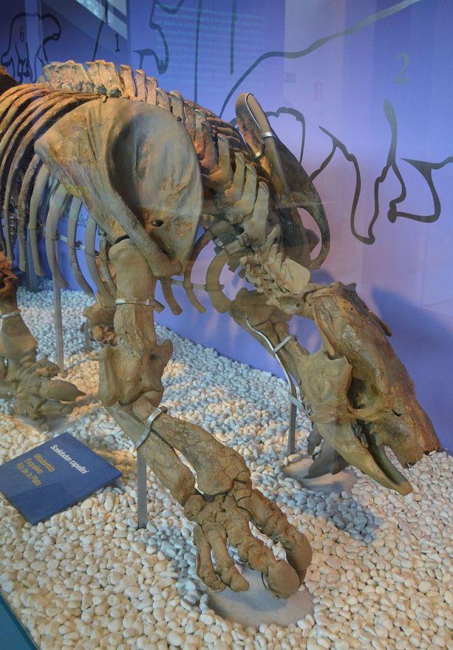 Scelidodon capellini, milodòntid, Río de la Plata, Museu de Ciències Naturals de València.