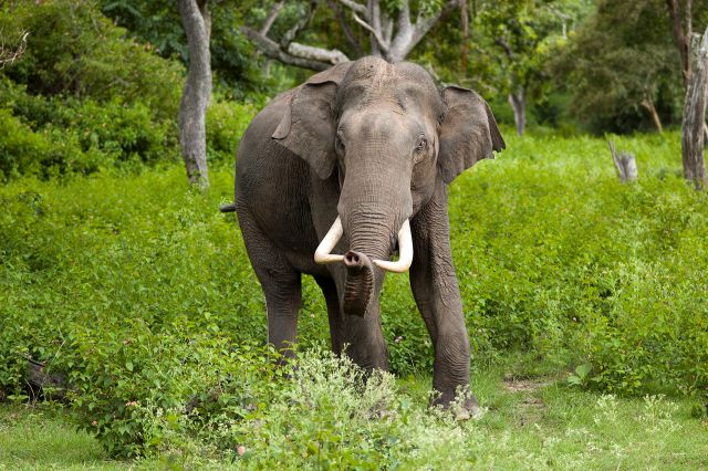 A beautiful Asian Elephant (Image by Yathin S Krishnappa, Public Domain)