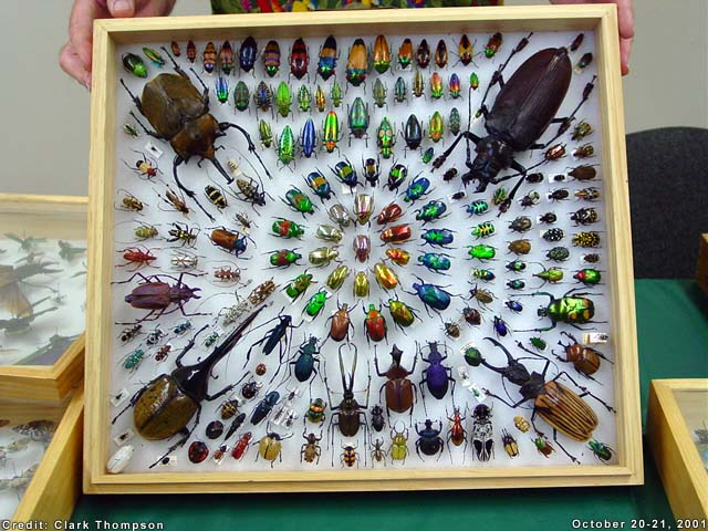 Beetle diversityis astonising and beautiful (Image Clarke Thompson)