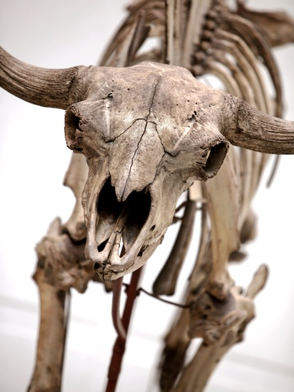 An almost complete skeleton of a European bison found at the end of the 18th century in southern Sweden. Photo by Lucas Gölén