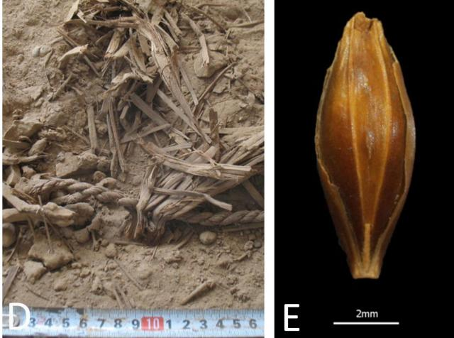 Dry preservation of plant remains from excavations (left) and a well preserved, desiccated barley grain found at Yoram cave (right)