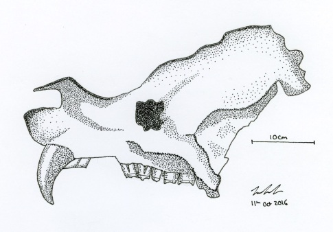 A quick sketch of Ziggy's skull. Note the strange pointy bit of bone sticking out on the nose. (Art by Jan Freedman)