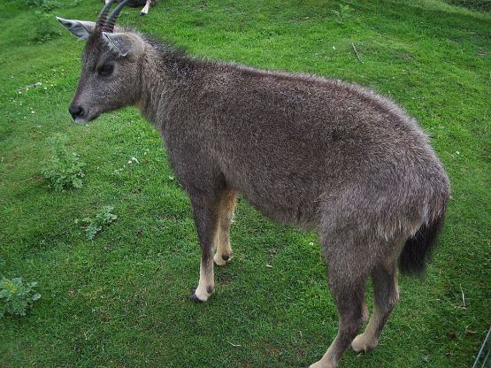 A modern day Goral. (Image by FunkMonk on Wiki)