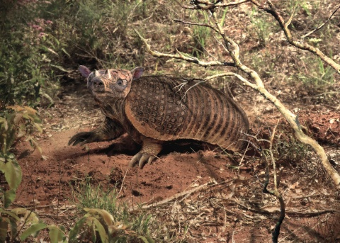 A horned armadillo (Peltephilus ferox) carefully scouts around the entrance to its burrow before embarking on a search for food. Illustration by Velizar Simeonovski and provided courtesy of Darin Croft and Indiana University Press.
