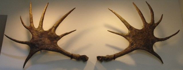 Alces latifrons antlers. Aalen museum, image by Ghedoghedo via Wikimedia Commons