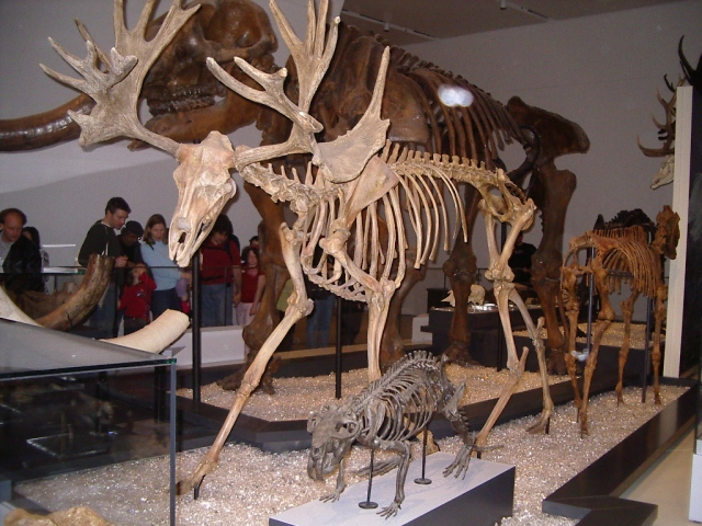Another view of Cevalces scotti, at the Royal Ontario Museum. Image by Staka via Wikimedia COmmons